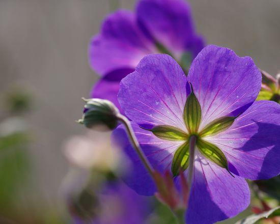 Novemberlichter... Geranium Flower Flower Beauty In Nature Focus On Foreground Geranium Storchschnabel Outdoors No People Autumn🍁🍁🍁 EyeEm Selects