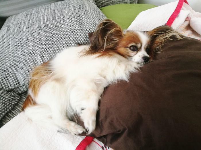 Dog Papillon Tired Chilling Save Pets Dog Sitting Close-up Napping At Home