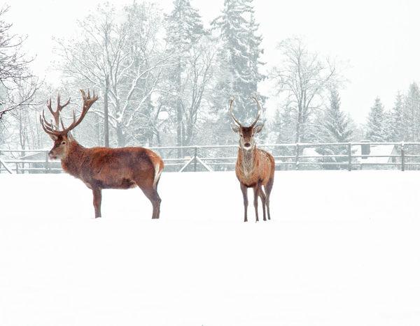 It's Cold Outside In The Forest Snow Winter Outdoor Hirschgarten Hirsch Hirschpark Hirschgeweih Hirschbrewery