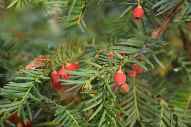 Red fruits on yew Yew Yew Tree Yew Berry Yew Berries Yew Fruit Taxus Fruit Plant Growth Tree Red Green Color Leaf Plant Part Freshness Nature Beauty In Nature No People Day Close-up Focus On Foreground Branch Selective Focus Outdoors Ripe Coniferous Tree EyeEmNewHere
