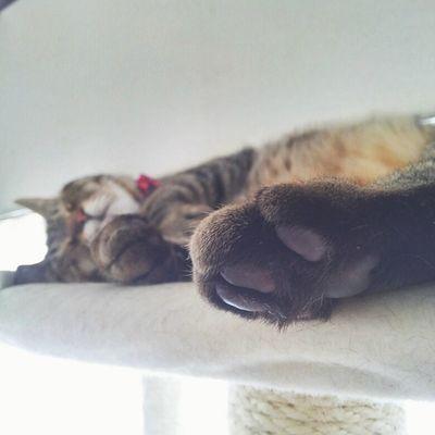 只今、肉球モミモミ大サービス中。♩ ねこのいる生活 猫 猫さんとの生活 にゃんだふるらいふ にゃんこ cat cat_stagram neko nekostagram ig_cat きんたろう きじとら お昼寝肉球 vscocamvscocats ・ ・ 2015.5.24...✍