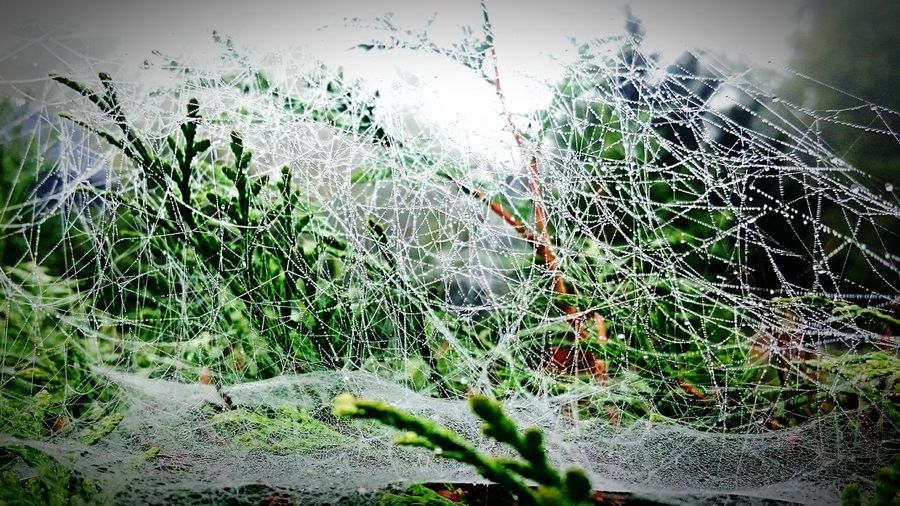 Nature Plant Beauty In Nature Green Color Tree Day Outdoors Freshness Close-up No People Spiderweb Spider Spinnennetz Spinnennetze Spinne Spidernet
