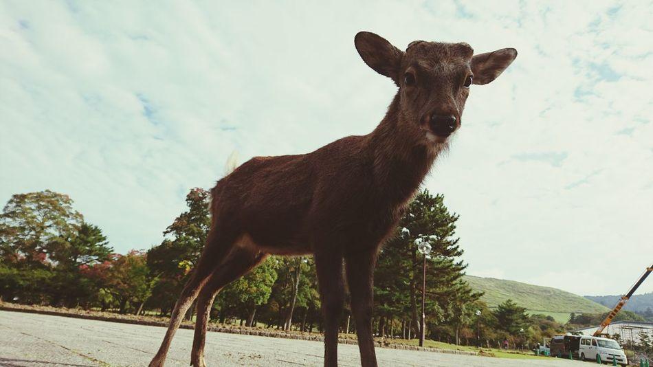 奈良の鹿 Animal Wildlife Animal Animals In The Wild Animal Body Part No People Moose One Animal Deer Antler Sky Outdoors Day