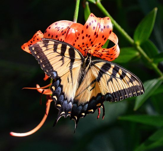 Butterfly on tiger lily Coloful Colors Nature Flowers Gardens Flower & Butterfly