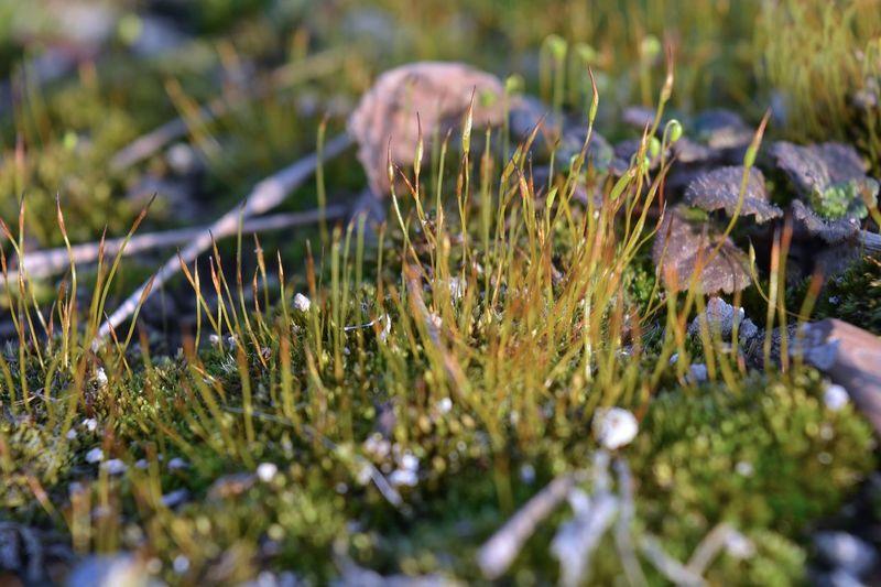 Close-up of crocus on field