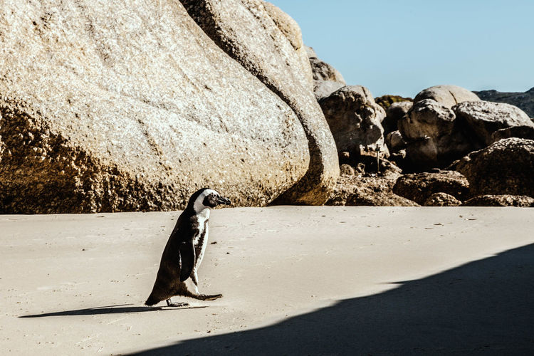 Boulders Beach South Africa Travel Animal Themes Animal Wildlife Animals In The Wild Beach Beauty In Nature Bird Boulders Beach Day Documentary Landscape Nature No People One Animal Outdoors Penguin Penguins Rock - Object Sand Shadow Sunlight