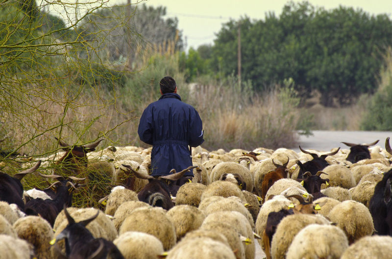 Rear view of herder walking amidst sheep on road