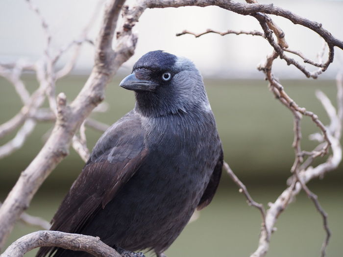 Raven perching on twig