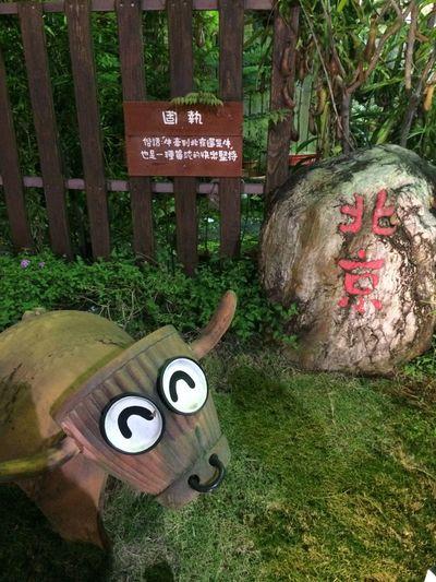 Stubborn Beijing Cow