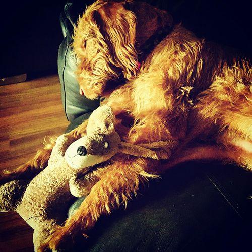 Nighty Night Romeo Relaxing Romeothevizsla Dog #vizsla Vizslaoftheday Vizsla Life Sleepy Dogslife Dogsofinstagram Hungarian Vizsla Velcro ❤ #hwv