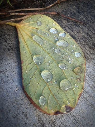 Water Leaf High
