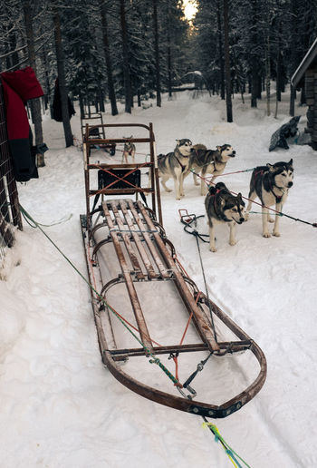 High Angle View Of Sled Dogs On Snow Covered Field