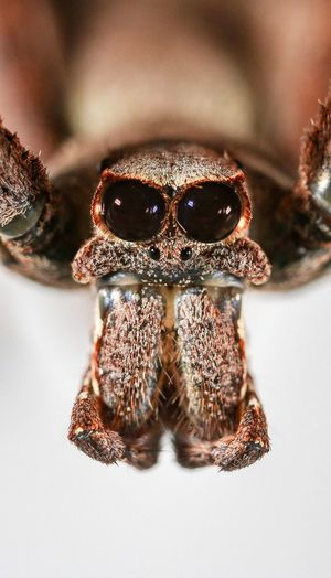 Close-up of spider against white background