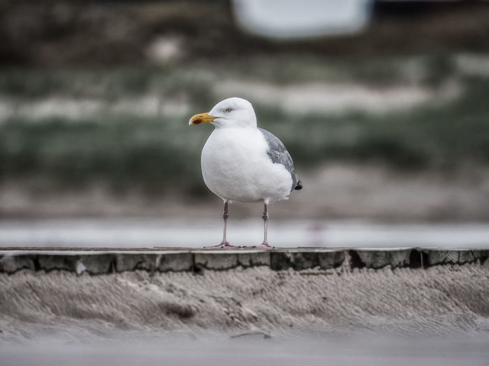 Seagull Beach Life Beach Time Animal Animal Themes Animal Wildlife Animals In The Wild Beach Beachlife Bird Close-up Day Focus On Foreground Nature No People One Animal Outdoors Perching Retaining Wall Sea Bird Seagull Side View Vertebrate Wall White Color