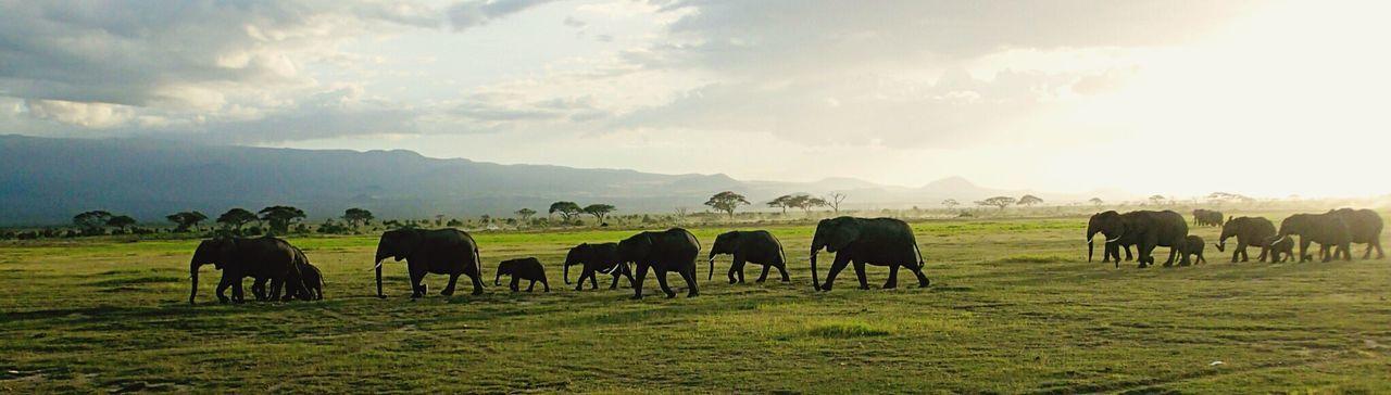 Panoramic Shot Of Elephants Walking On Field Against Sky