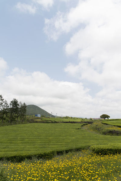 landscape of green tea field at Osulloc in Jeju Island, South Korea Beauty In Nature Cloud - Sky Day Field Flower Grass Green Tea Field Growth JEJU ISLAND  Landscape Nature No People Osulloc Outdoors Plant Scenics Sky Tranquil Scene Tranquility Tree