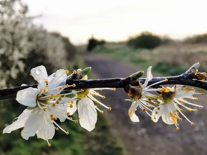 Close-up of cherry blossoms on twig