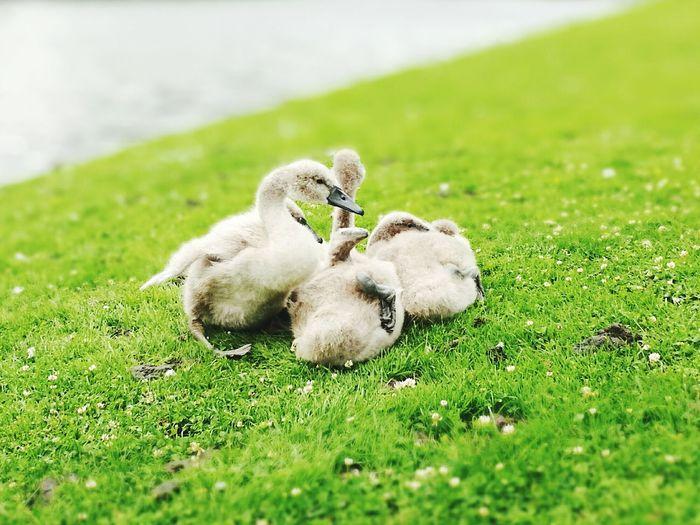 Tilt image of ducklings on grassy field