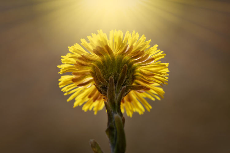 coltsfoot in spring Coltsfoot Sepal Outdoors Sunlight Plant Stem Focus On Foreground Petal No People Flower Head Inflorescence Nature Growth Yellow Freshness Close-up Flowering Plant Fragility Plant Flower Vulnerability  Beauty In Nature