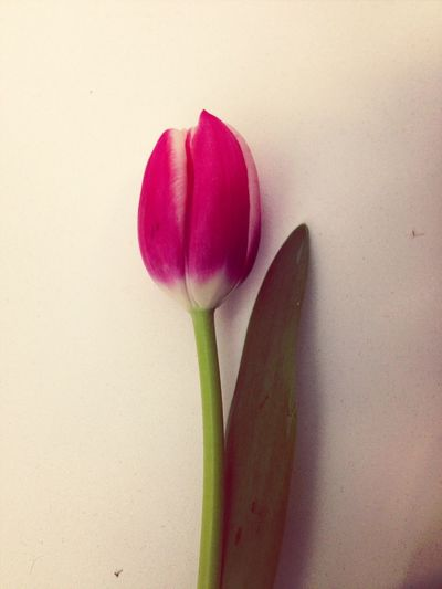 Tulipanes Tulipanes Flowers
