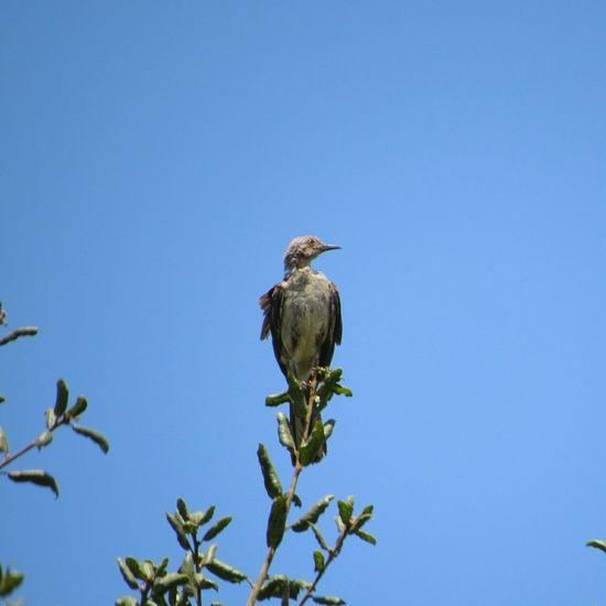Scrubjay Fledging Birds🐦⛅ Avian Bird Watching Bird Photography Outdoor Photography One Bird Single Bird