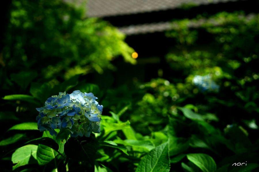 あじさい 紫陽花2015Photo ボケ味ふぇち 葉っぱふぇち Light And Shadow Flower Flowers Flower Collection Kagoshima