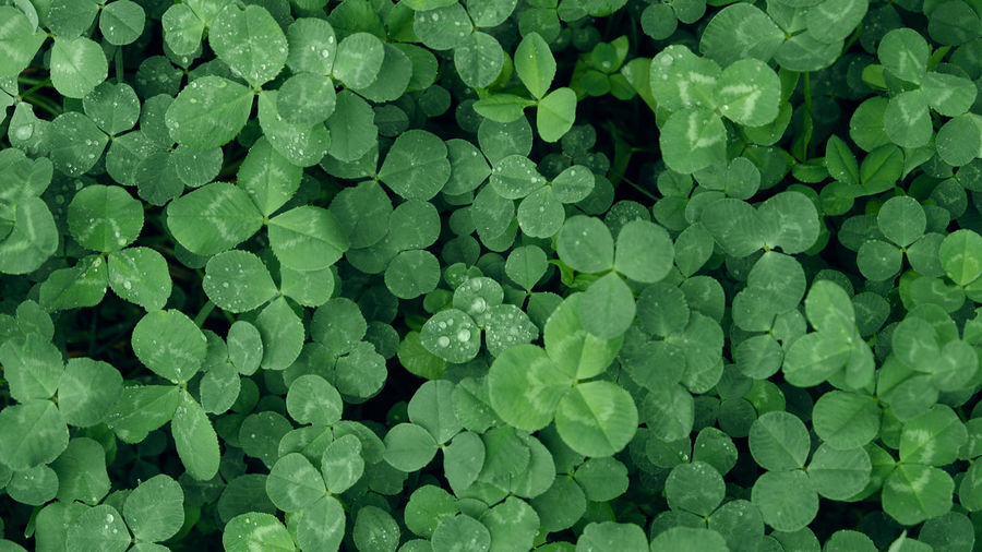 Close-up of green clover leaves with water drops from rain or morning dew. copy space.