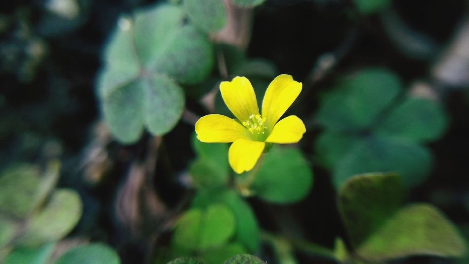 yellow flower soft Flower Head Flower Leaf Yellow Botanical Garden Plant Part Close-up Plant Green Color