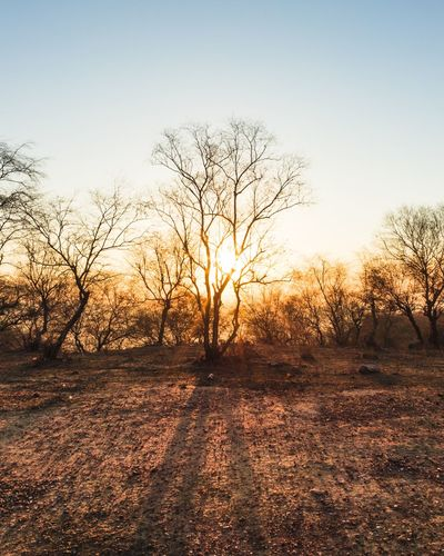 Bare trees on field against clear sky during sunset