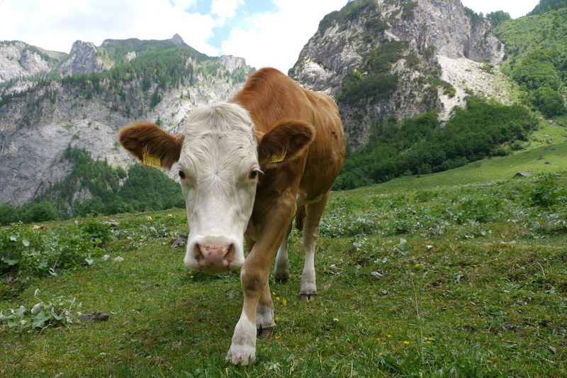 Portrait of cow standing on grassy mountain