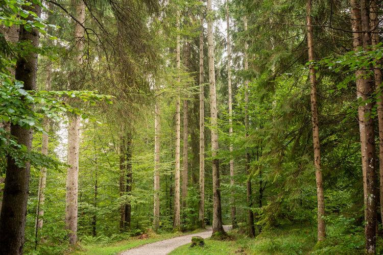 Many big trees