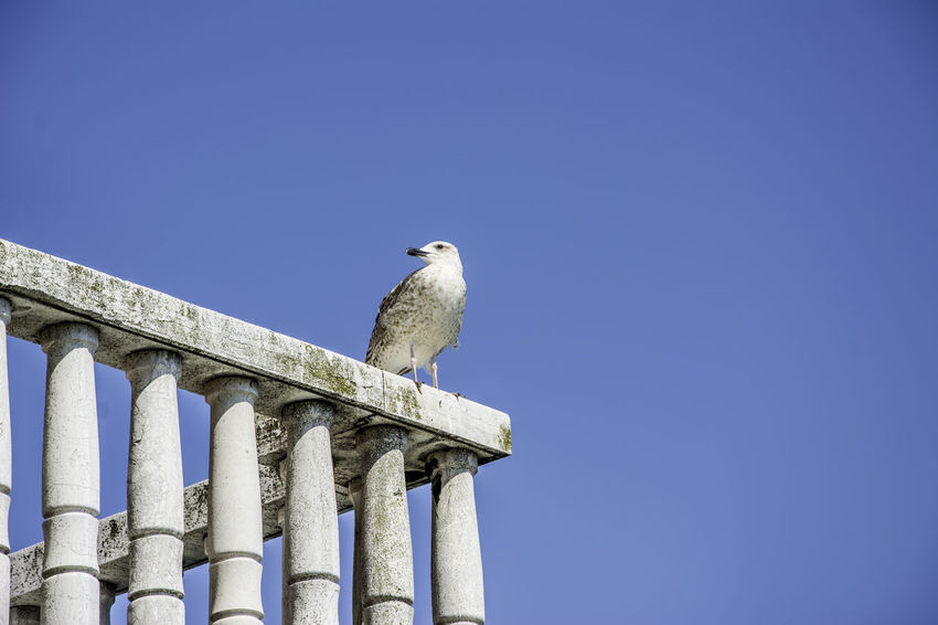 Venice, Italy Animal Themes Animal Wildlife Animals In The Wild Architectural Column Architecture Bird Blue Built Structure Clear Sky Copy Space Day Low Angle View Mourning Dove Nature No People One Animal Outdoors Perching Sky