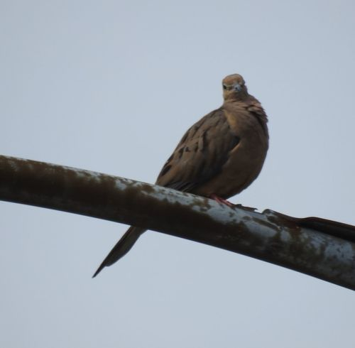 Bird Bird Eye Bird On A Pole Bird Perched Bird Photography Birds_collection Blue Sky Dove From Below Low Angle View Mourning Dove Mourningdove Perched Bird Watching Wildlife Wildlife & Nature Wildlife Photography