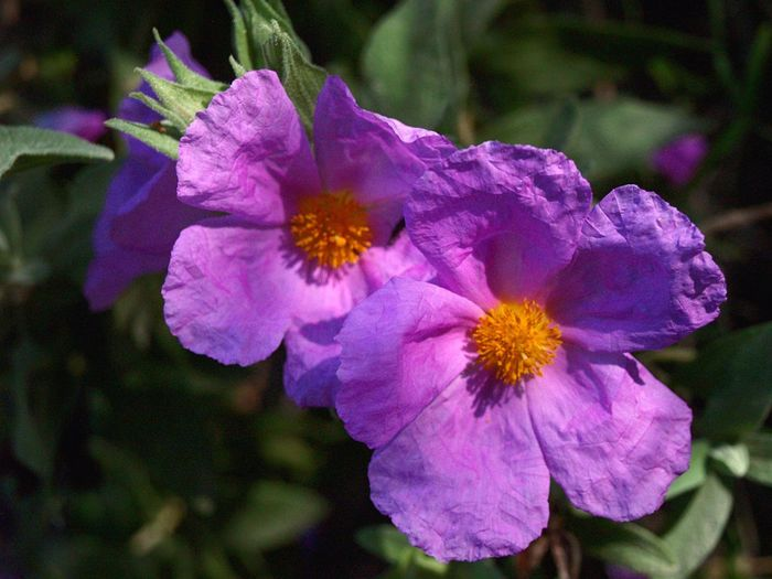 Flores Flower Nature Primavera Petal Beauty In Nature Fragility Growth Flower Head Plant Freshness Purple Blooming Day