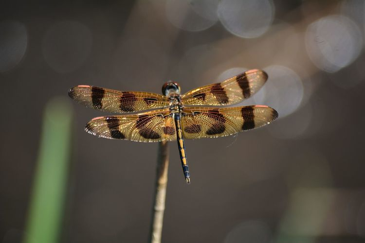 Close-up of golden dragonfly, halloween pennant , celithemis eponina