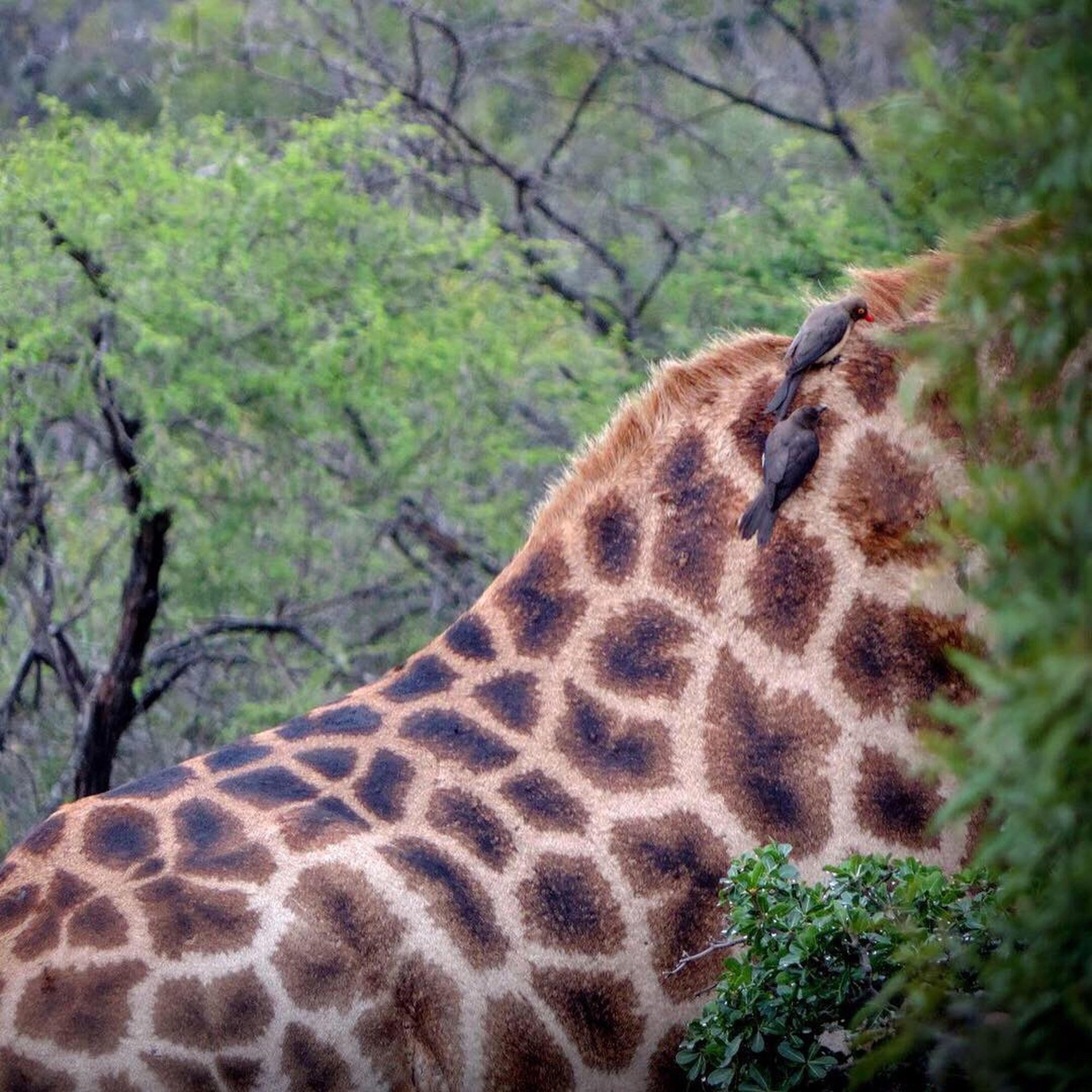 animal wildlife, animal themes, animal, animals in the wild, one animal, mammal, tree, plant, no people, safari, vertebrate, animal body part, nature, giraffe, day, forest, land, close-up, animal markings, outdoors, herbivorous, animal head, animal neck