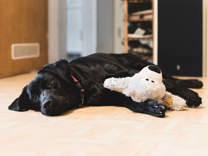 Portrait of a dog lying down on floor at home