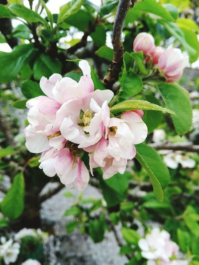 Apple Blossom. Flower Pink Color Plant Petal Nature Flower Head Botany Beauty In Nature Fragility No People Close-up Blossom Growth Day Focus On Foreground Springtime Outdoors Freshness Dobwalls Liskeard United Kingdom Apple Blossom Cornwall, UK. EyeEm Nature Lover