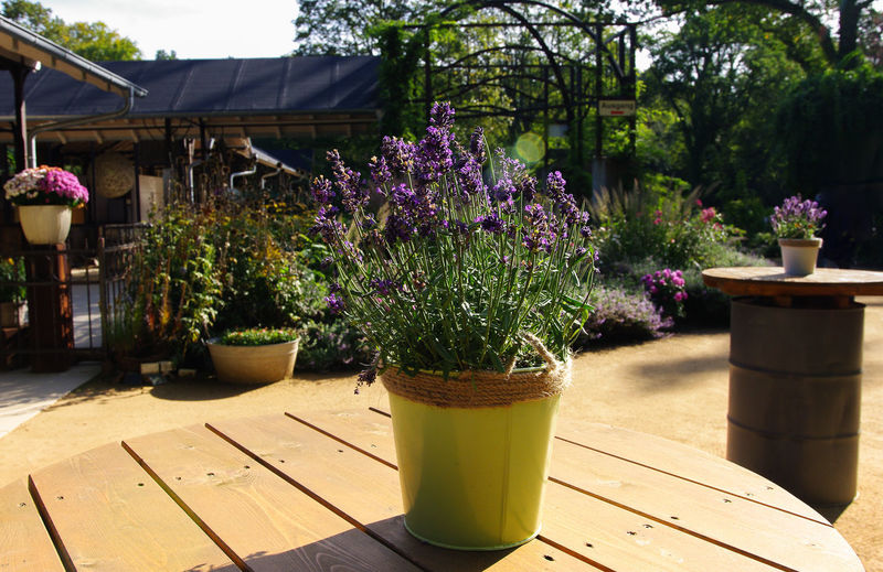 lavender Nature Plant Beauty In Nature Colorful Day Daylight Flower Flower Pot Flowering Plant Freshness Garden Growth Lavender Lavender Colored Nature Nautical Vessel No People Outdoor Photography Outdoors Potted Plant Purple Sunlight Table