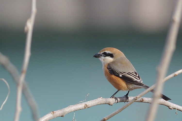 Bird Bird Photography Nature Photography Shrike モス 百舌 百舌鳥 Nature One Animal Animal Wildlife Animals In The Wild