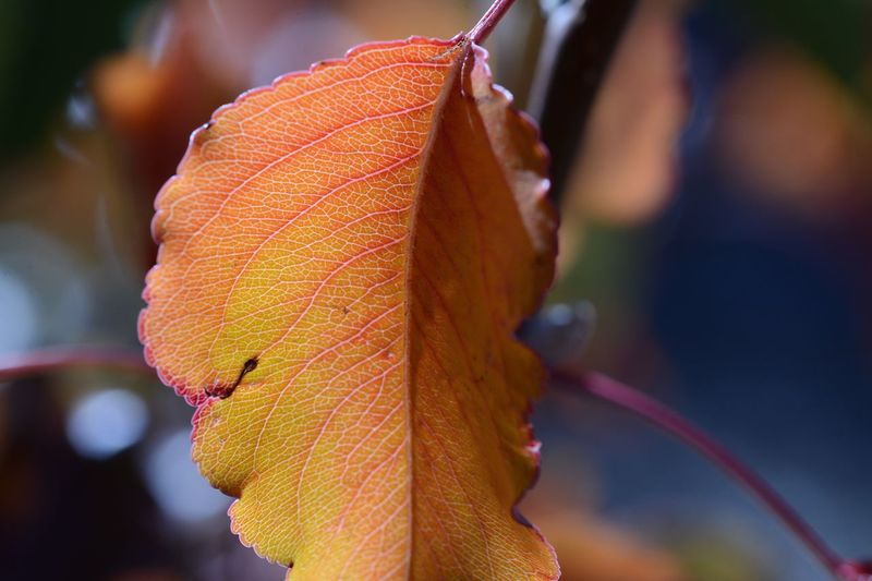EyeEm Selects Close-up Focus On Foreground Plant Part Leaf Plant Growth Change Day Vulnerability  No People Outdoors Freshness Natural Pattern Selective Focus Fragility Leaf Vein Nature Beauty In Nature Autumn Orange Color