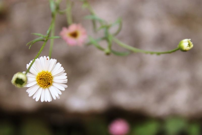 Close-up of white daisy blooming on field
