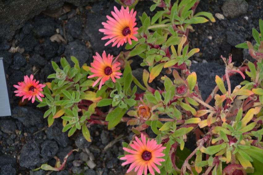 Beauty In Nature Close-up Day Flower Flower Head Flowering Plant Fragility Freshness Gazania Growth High Angle View Inflorescence Leaf Nature No People Outdoors Petal Pink Color Plant Plant Part Pollen Vulnerability