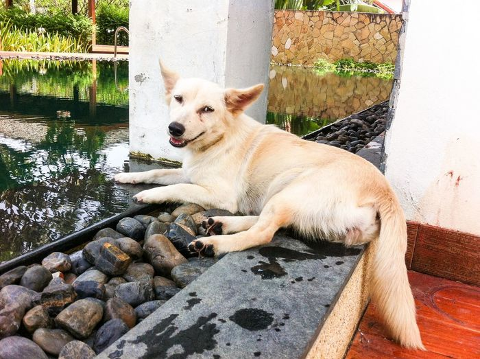 white thai dog Animal Dog Junior  Junior Dog Life Mammal Mini Nature Pet Relaxing Thai Thai Dog White Dog