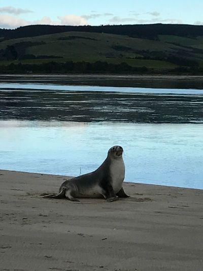 Sea lion on Surat Bay Seal Sealion  Beach nature Animals In The Wild Animal Wildlife No People