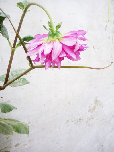 Flower Nature Flower Head No People Beauty In Nature Pink Color Plant Petal Outdoors Fragility Freshness Close-up Day FlowerLove 🌸 Growth Flower Photography EyeEmNewHere The Great Outdoors - 2017 EyeEm Awards BYOPaper!