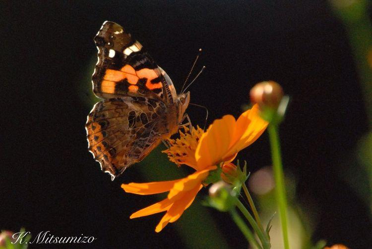ヒメアカタテハ Butterfly Tadaa Community 勝蝶 Imari 蝶