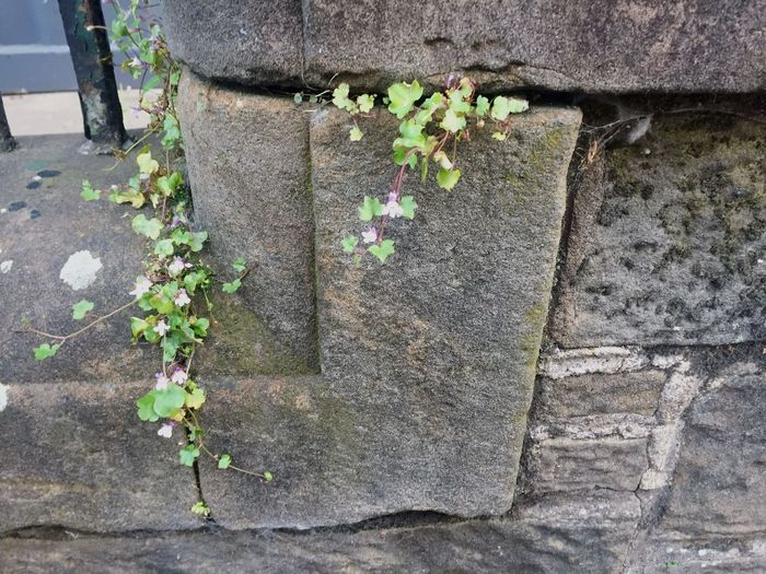 Life Stone Purple Green Life Plants Growth Day Leaf Plant Part Plant No People Nature Outdoors Ivy Green Color Creeper Plant Flower Close-up Wall