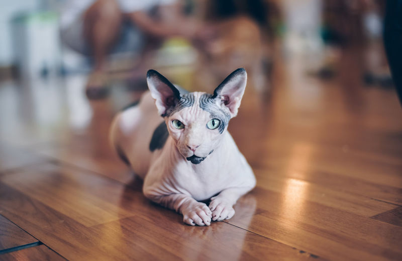 Portrait Of Sphynx Hairless Cat Sitting On Hardwood Floor