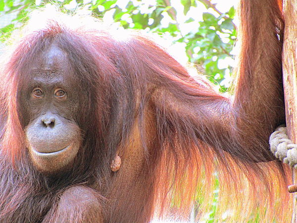 Close-up Monkey Orangutan Outdoors Rostock 2017 Sonnenschein Wärmt Ningis Rücken- Sunshine Warms Ningis Rücken